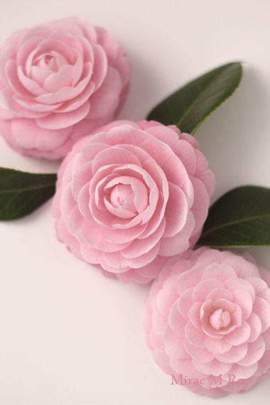 ふんわりと優しく咲いた乙女椿
