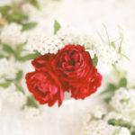 ミニ薔薇紅姫とコデマリ