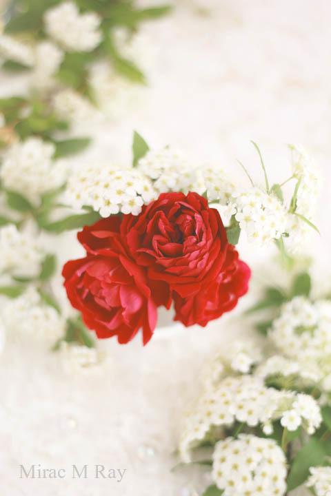 ミニ薔薇紅姫とコデマリ・Miniature Rose Benihime Red Crimson Princess & Reeves Spiera