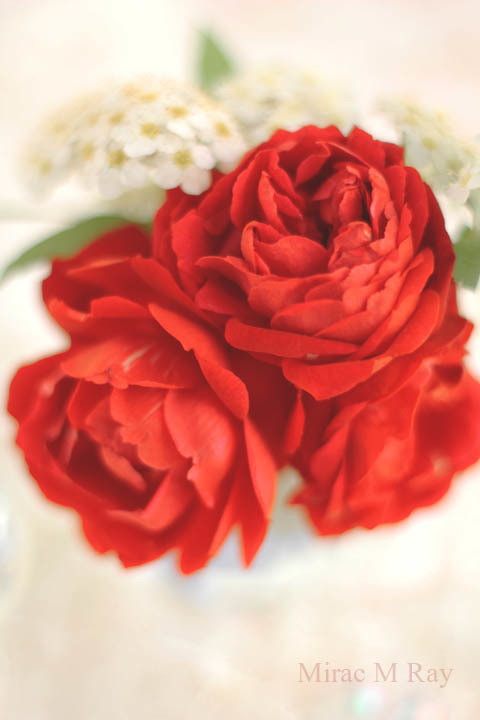 ミニ薔薇紅姫とコデマリ・Miniature Rose Benihime Red Crimson Princess & Reeves Spiera