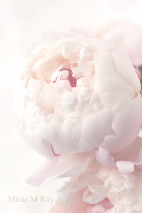 芍薬(シャクヤク)・Peonies